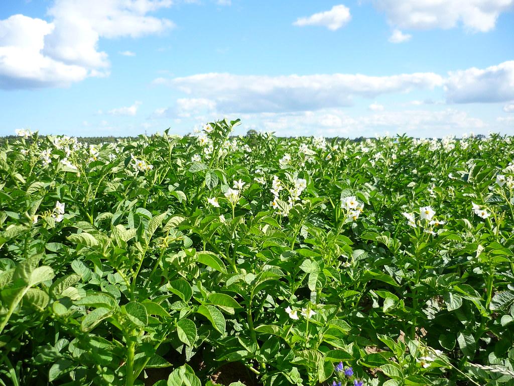 A potato field in Skåne
