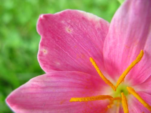 rain lily - lirio de lluvia