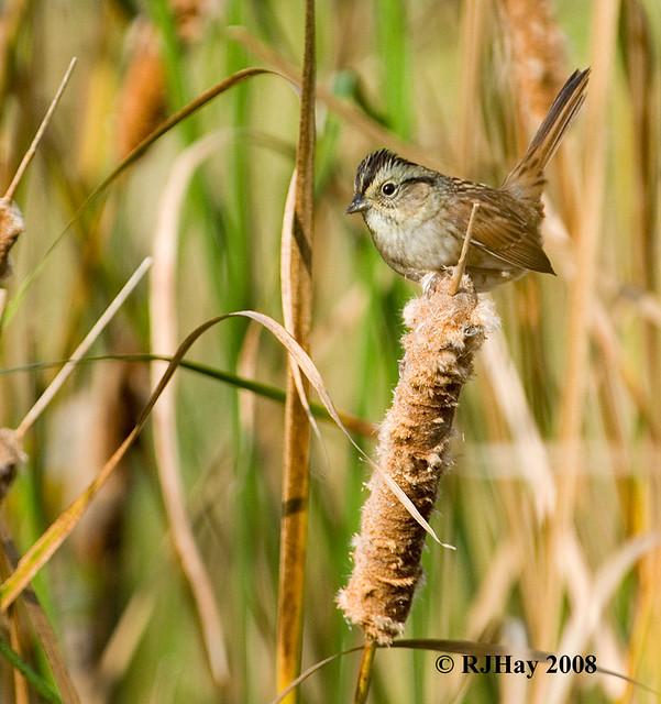 Sparrow - Rondeau Provincial Park