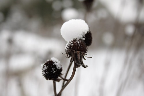 Snow capped flower
