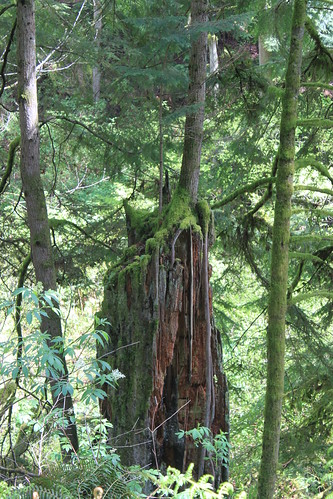 Cougar Mountain - Licorice Fern Trail - Determined Tree on Tree (Close)