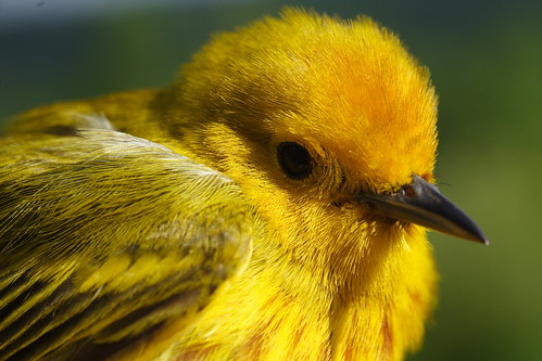 Yellow Warbler Closeup