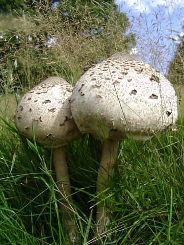 Parasol Mushrooms Macrolepiota procera