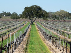 Firestone Winery vineyards, Santa Ynez valley