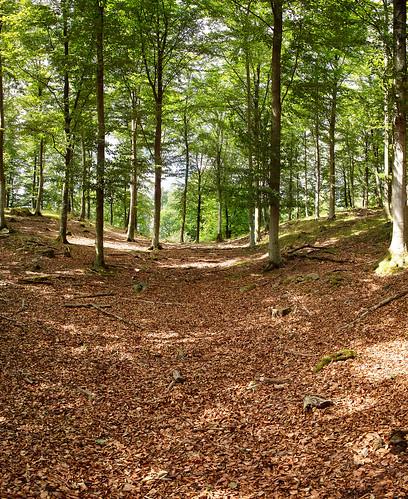 Bokskog genom skuren av en liten stig