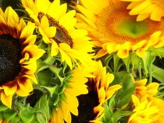 Locally Grown Sunflowers - (c) Sienna Wildfield