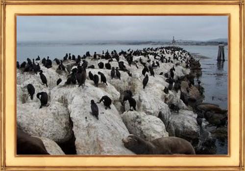 MarysCorner-Cormorants