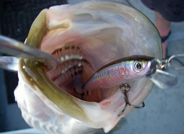 Bass inhales Luckycraft Ripbait