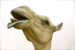 camel head 2