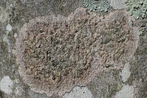 Beech Bark—texture