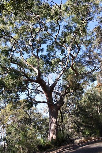 Eucaliptus - gum tree