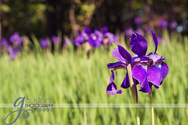 Purple irises by the side of the road
