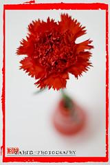 Carnation~