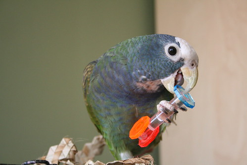 Mika the pionus parrot playing with a foot toy