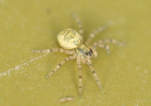 Dock spider spiderling