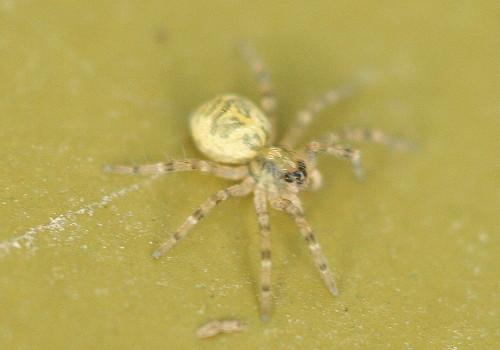 Dock spider spiderling