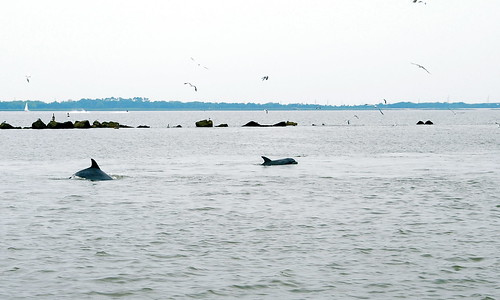 Two dolphins chase down a shrimp boat hoping for an easy meal.