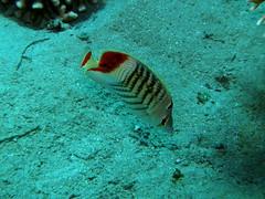 Pez mariposa de lomo rojo / Crown butterflyfish (Chaetodon paucifasciatus)