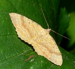 Yellow Shell moth (camptogramma bilineata)