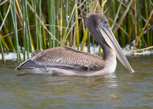 Brown Pelican by you.