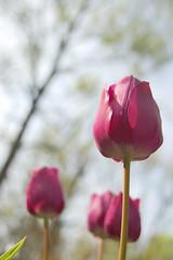 Tulip underneath
