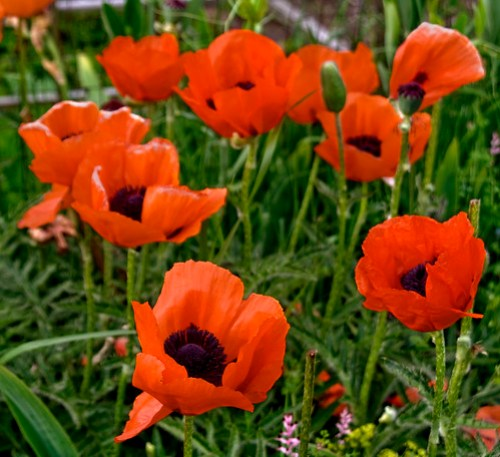 Rachael Ashe: Poppies