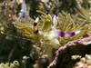Nudibranch (pteraeolidia ianthina)