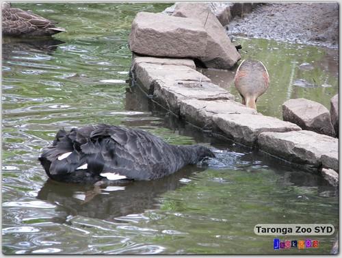 Taronga Zoo - Black Swan