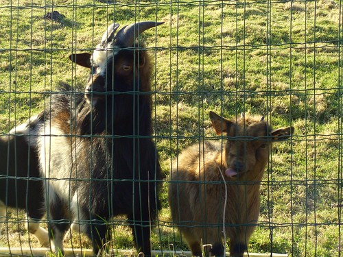 Baby goat thinks this fance has a flavour