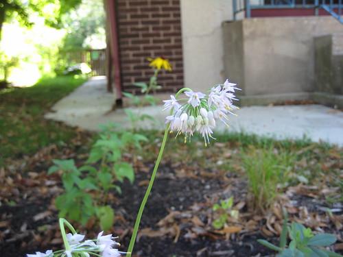 Rain garden nodding onion