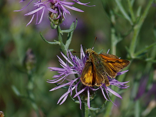 Butterfly and knapweed