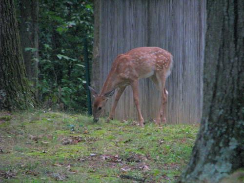 Deer in our yard - 20080912-5