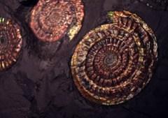 psiloceras planorbis (Ammonite Fossil)