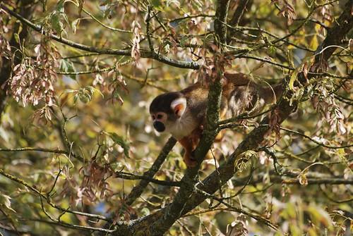 Totenkopfaffe im Parc Zoologique de La Bourbansais