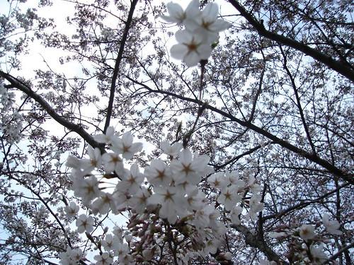 cherry blossoms 032