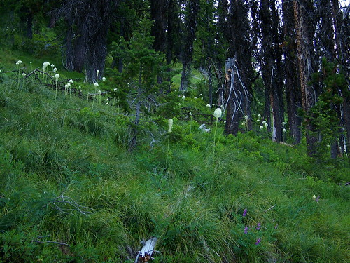Beargrass at the saddle