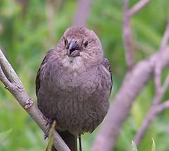 Female Brownheaded Cowbird by makeupanid
