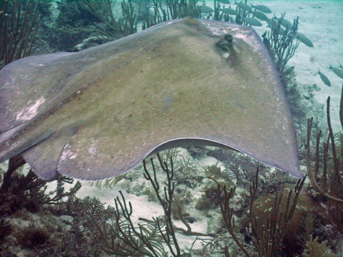 Close encounter with a Southern Stingray