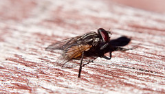 Bush fly on table