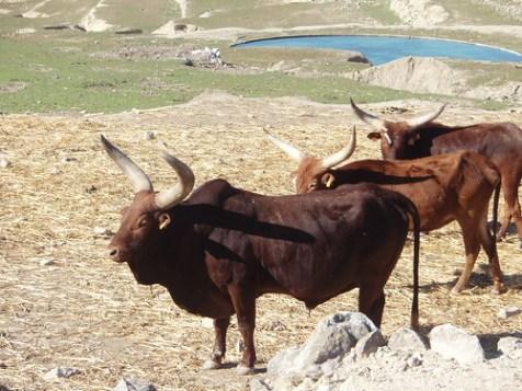 Vacas africanas en el Safari Aitana