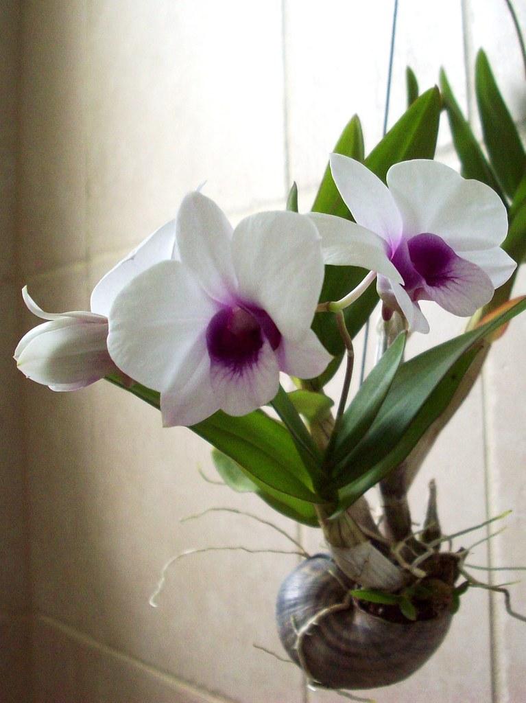 I LikE Plants Dendrobium Bigibbum Compactum Hybrid