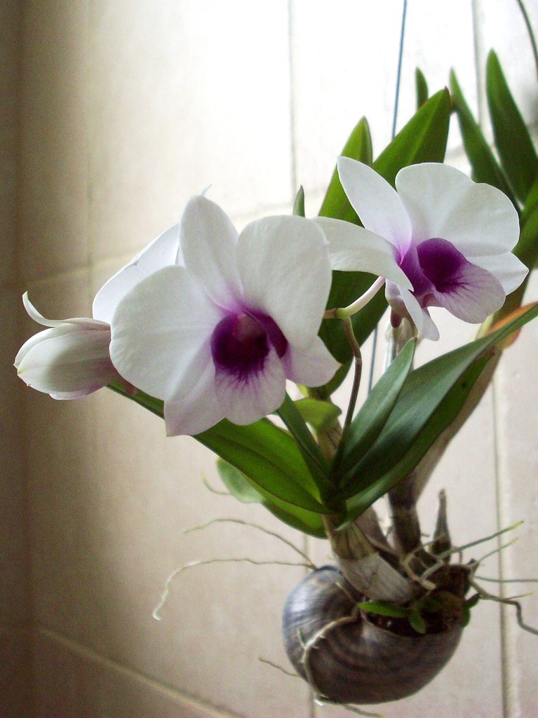 cats in the kitchen and mixer i like plants!: dendrobium bigibbum compactum (hybrid)
