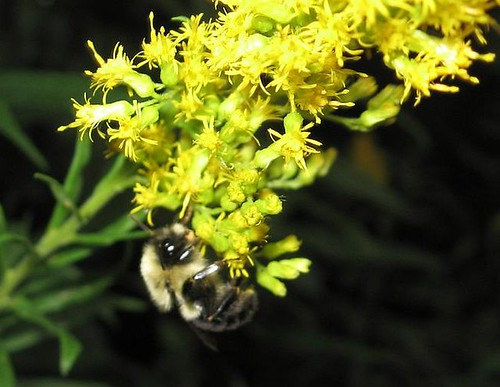 Bumblebee on Goldenrod - Sept 16 2008