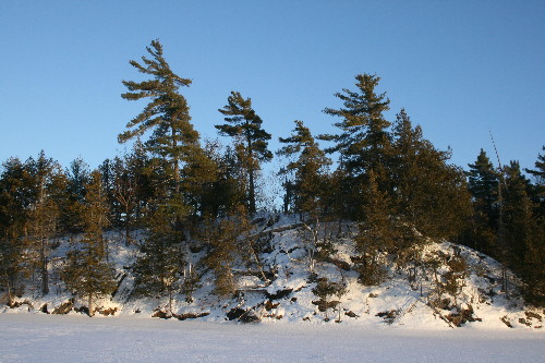 White Pines on hilltop