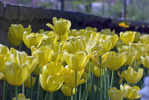 yellow tulips, istanbul tulip festival, istanbul, pentax k10d