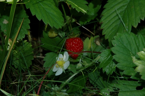 Fragaria vesca, fruit and flower