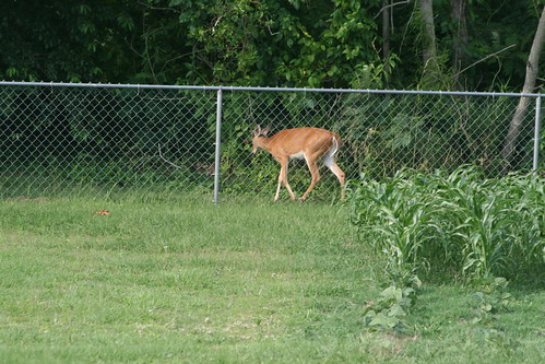 Sneaky Deer in our Backyard this evening...