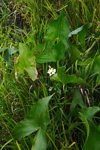 Common Arrowhead 1 - fat leaves