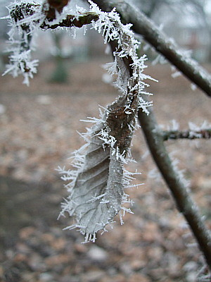 frosted dead leaf