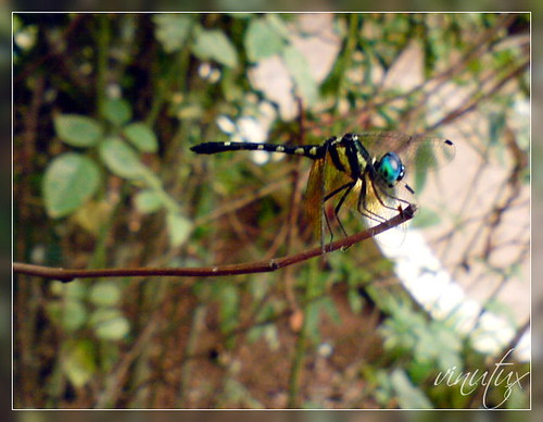 Tumbhi087 | Dragonfly